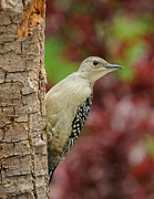 Baby Bird Photo Posters - Baby Red Bellied Woodpecker Poster by Lara Ellis
