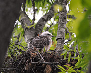 Red-shouldered Hawk Posters - Baby Red Shouldered Hawk in Nest Poster by Jai Johnson