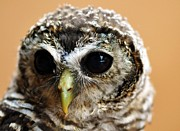 Baby Bird Posters - Baby Rufous Legged Owl Poster by Bev  Brown