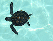 Endangered Species Posters - Baby Sea Turtle Poster by Ellen Henneke