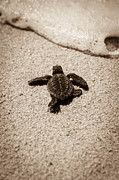 Hatching Posters - Baby Sea Turtle Poster by Sebastian Musial
