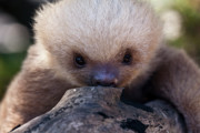 Sloth Metal Prints - Baby Sloth 2 Metal Print by Heiko Koehrer-Wagner
