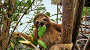 Brown-throated Three-toed Sloth Prints - Baby sloth eating mangrove leaf Print by Vilainecrevette