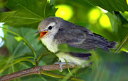 Baby Bird Posters - Baby Sparrow in the Maple Tree Poster by Karon Melillo DeVega
