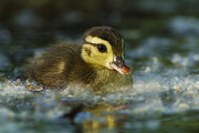 Baby Bird Prints - Baby Wood Duck Print by Mircea Costina Photography