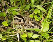 Thomas Pettengill - Baby Woodcock