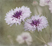 Garden Flowers Photos - Bachelor Buttons - Flowers by Kim Hojnacki