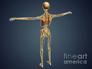 Biomedical Illustrations Posters - Back View Of Human Skeleton Poster by Stocktrek Images