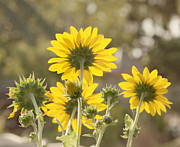 Yellow Sunflowers Prints - Backlight - Sunflowers Print by Kim Hojnacki