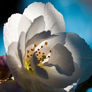 Anthers Prints - Backlit Cherry Blossom Print by David Patterson