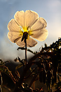 Birdcage Prints - Backlit Evening Primrose Print by Robert Bales