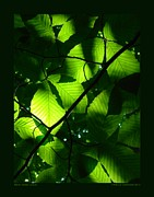 Patricia Overmoyer - Backlit Green Leaves