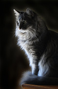 Backlit Kitty Print by Carolyn Fletcher