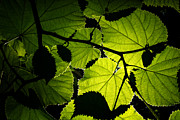 Pigments Framed Prints - Backlit leaves Framed Print by Fabrizio Troiani