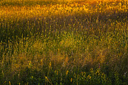 Backlit Prints - Backlit Meadow Grasses Print by Marty Saccone
