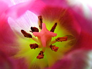 Big Tulip Prints - Backlit Miniature Tulip Macro Print by Renee Trenholm
