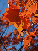 Backlit Leaf Prints - Backlit Orange Sugar Maple Leaves Print by Anna Lisa Yoder