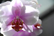 Cindy Manero - Backlit Orchid