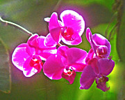 Purple Orchids Posters - Backlit Orchids Poster by Allan Einhorn