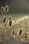 Seedhead Framed Prints - Backlit Teasel Framed Print by Anne Gilbert