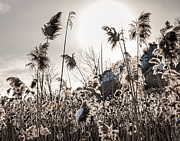 Weed Photo Metal Prints - Backlit winter reeds Metal Print by Elena Elisseeva
