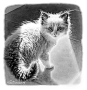 Kitten Prints Prints - Backlite kitten BW Print by Darlene Konieczny