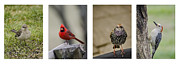 Mocking Metal Prints - Backyard Bird Series Metal Print by Heather Applegate