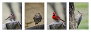 Woodpeckers Photos - Backyard Bird Set by Heather Applegate