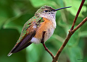 500mm Prints - Backyard Broad Tailed Hummingbird Print by Stephen  Johnson
