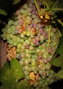 Washington Art - Backyard Garden Series -Hidden Grape Cluster by Carol Groenen