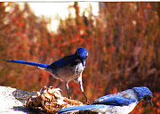 Scrub Jay Paintings - Backyard Jay Inspiration by Catherine Saldana
