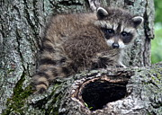 Raccoon Photo Posters - Backyard Raccoon Poster by Robert Harmon