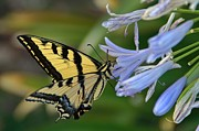 Blue Lily Of The Nile Photos - Backyard Tiger by Peggy J Hughes