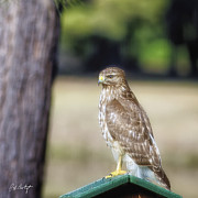 Hawk Photographs Prints - Backyard Villain Print by Phill  Doherty