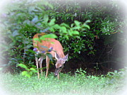 Jo Anna Wycoff - Backyard Whitetail Deer 2