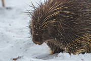 Alaska Prints Photos - Bad Hair Day by Chris Lindner
