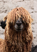 Llamas Photo Acrylic Prints - Bad Hair Day Acrylic Print by James Brunker