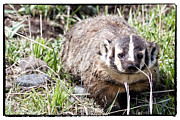 Badgers Prints - Badger in Yellowstone Print by Natural Focal Point Photography