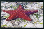 Robert Nickologianis - Bahama Starfish