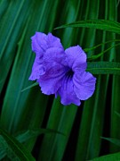 Petunia Photos - Bahamas Flowers 001 by Lance Vaughn