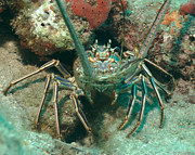 Martin Goldberg - Bahamian Spiny Lobster