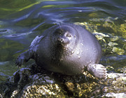 Cute. Sweet Posters - Baikal Seal Poster by Anonymous
