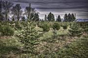 Spencer McDonald - Bailey Farms Christmas Trees
