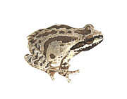 Cindy Hitchcock - Baja California Treefrog