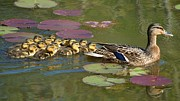 Ducklings Framed Prints - Bakers dozen Framed Print by Mary Zeman