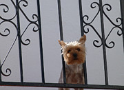 Cairn Terrier Photos - Balcony Guard Dog by Phil Banks