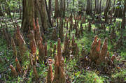 Flood Prints - Bald Cypress Knees in Congaree National Park Print by Pierre Leclerc
