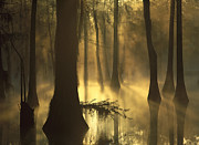 Bald Cypress Prints - Bald Cypress Swamp at Dawn Print by Tim Fitzharris