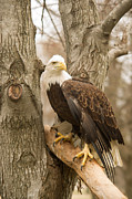 Reelfoot Lake Posters - Bald Eagle 12 Poster by Douglas Barnett