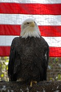 Photos With Red Photo Prints - Bald Eagle 265 Print by Joyce StJames